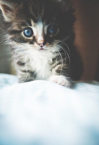 umbilical hernia in kitten