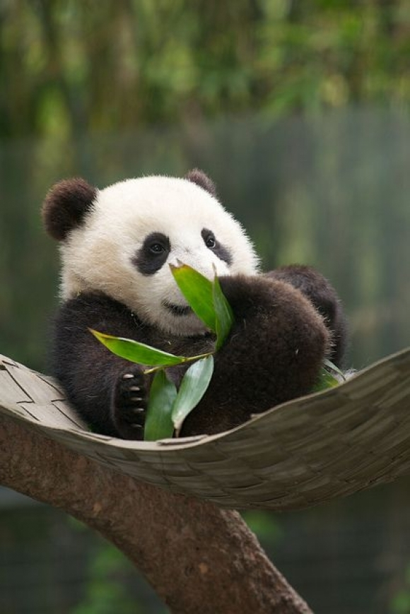 Sweet Baby Panda Pictures, Photos, and Images for Facebook ...