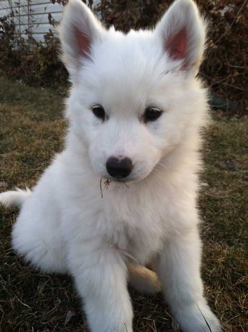 Fluffy White Puppy Pictures, Photos, and Images for ...