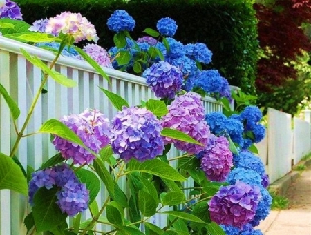 Colorful Garden Hydrangeas Pictures Photos and Images for