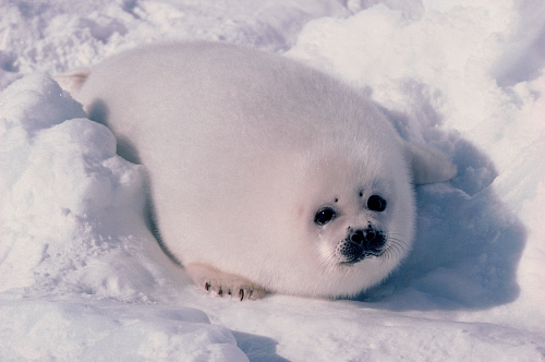 White Baby Seal Pictures, Photos, and Images for Facebook ... - photo#3