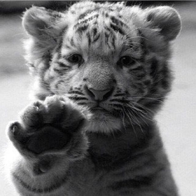 Cutest Baby Tiger Pictures Photos And Images For Facebook Tumblr