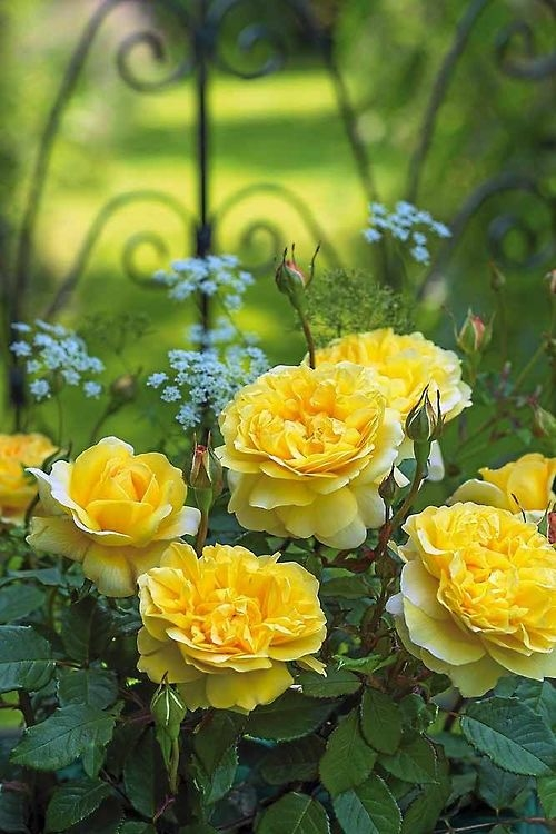 Yellow Roses Pictures, Photos, and Images for Facebook ...