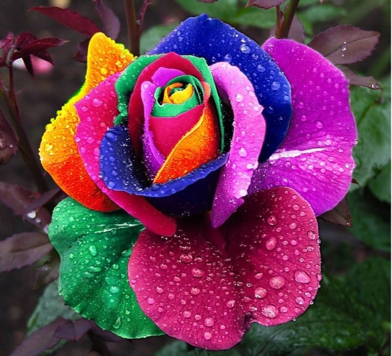 rainbow rose pictures photos and images for facebook