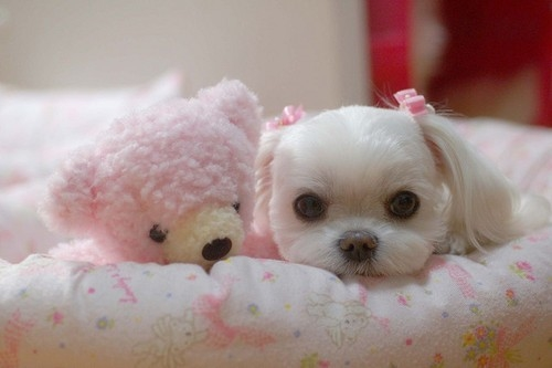 Adorable Maltese Puppy With Pink Teddy Bear Pictures
