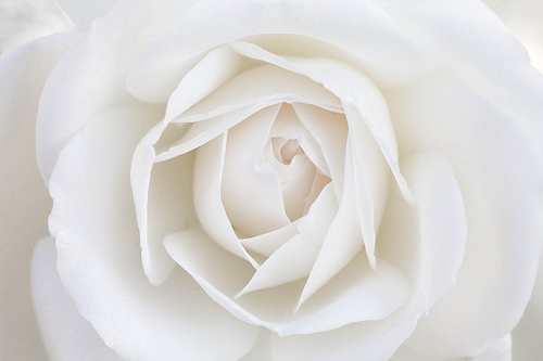 White Rose Pictures, Photos, and Images for Facebook ...