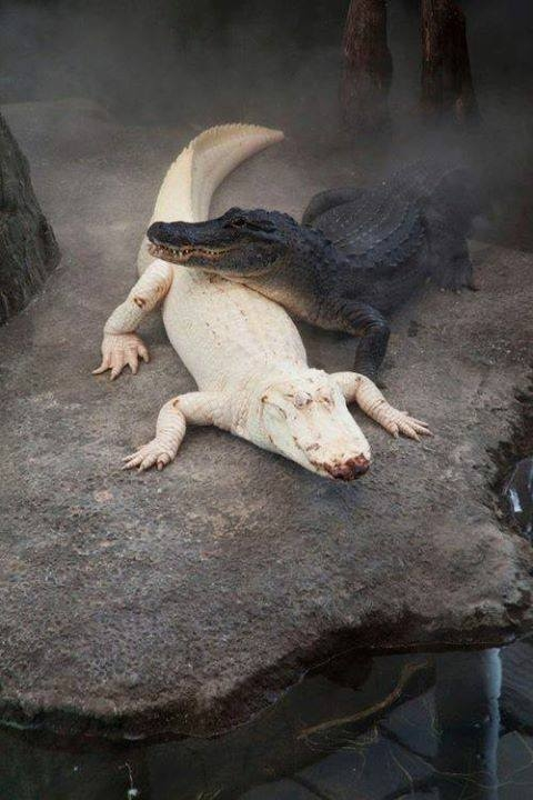 Black & White (Albino) Alligators Pictures, Photos, and ...