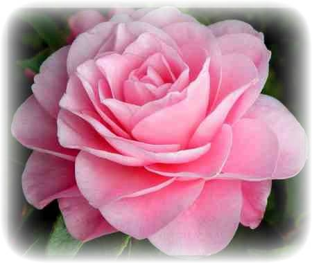 beautiful pink rose pictures, photos, and images for facebook, Beautiful flower