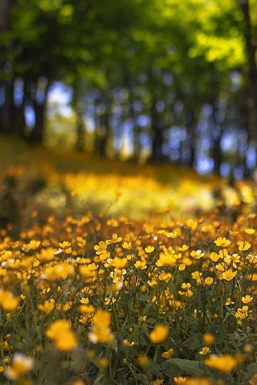 field of yellow flowers pictures photos and images for