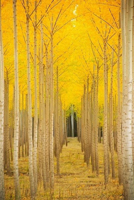 Yellow Fall Trees Pictures, Photos, and Images for Facebook