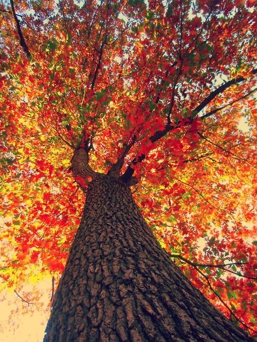 looking up at fall tree
