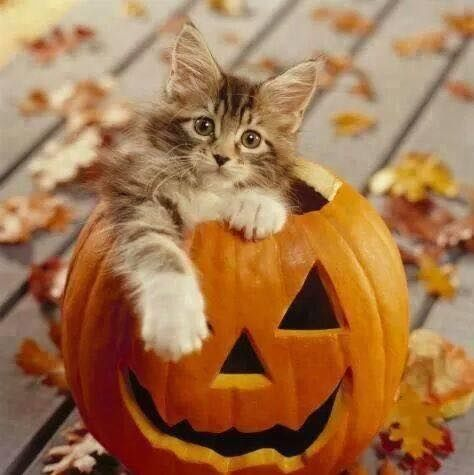 Cat In A Jack O Lantern Pictures Photos And Images For Facebook Tumblr Pinterest And Twitter