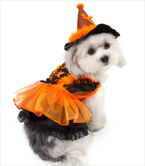 Cute Doggy Orange Amp Black Witch Costume Pictures Photos