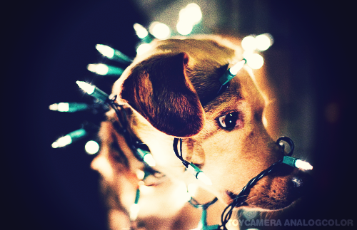 Dog Wrapped In Christmas Lights Pictures, Photos, and Images for ...