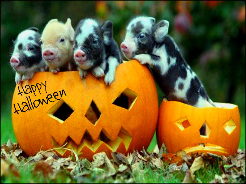 Cute Happy Halloween Pigs Pictures Photos And Images For