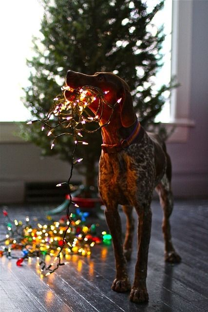 dog helping with christmas lights - Dog Christmas Lights