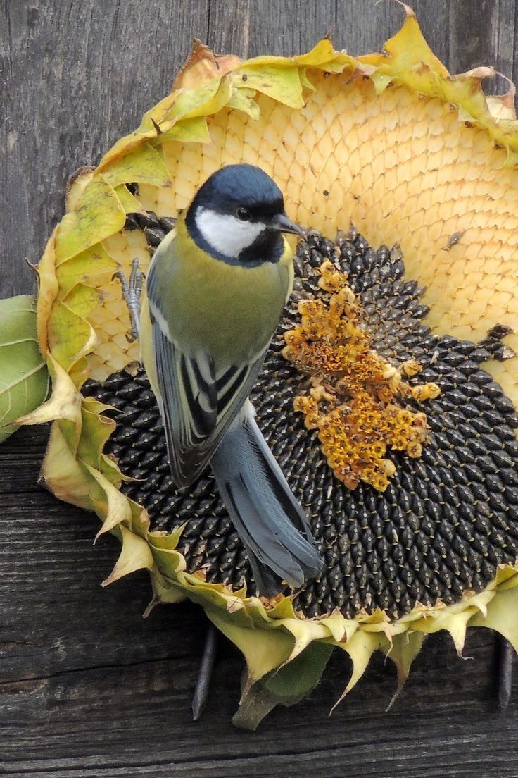 Bird Eating Dried Sunflower Seeds Pictures, Photos, and ...