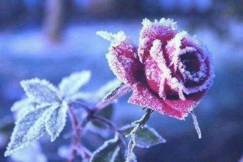 Winter Rose - Winter Rose
