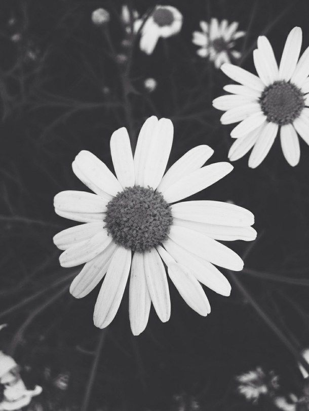 black and white daisy tumblr wwwpixsharkcom images