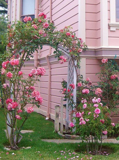 Pink rose arbor against pink house pictures photos and - Pinke gardinen ...
