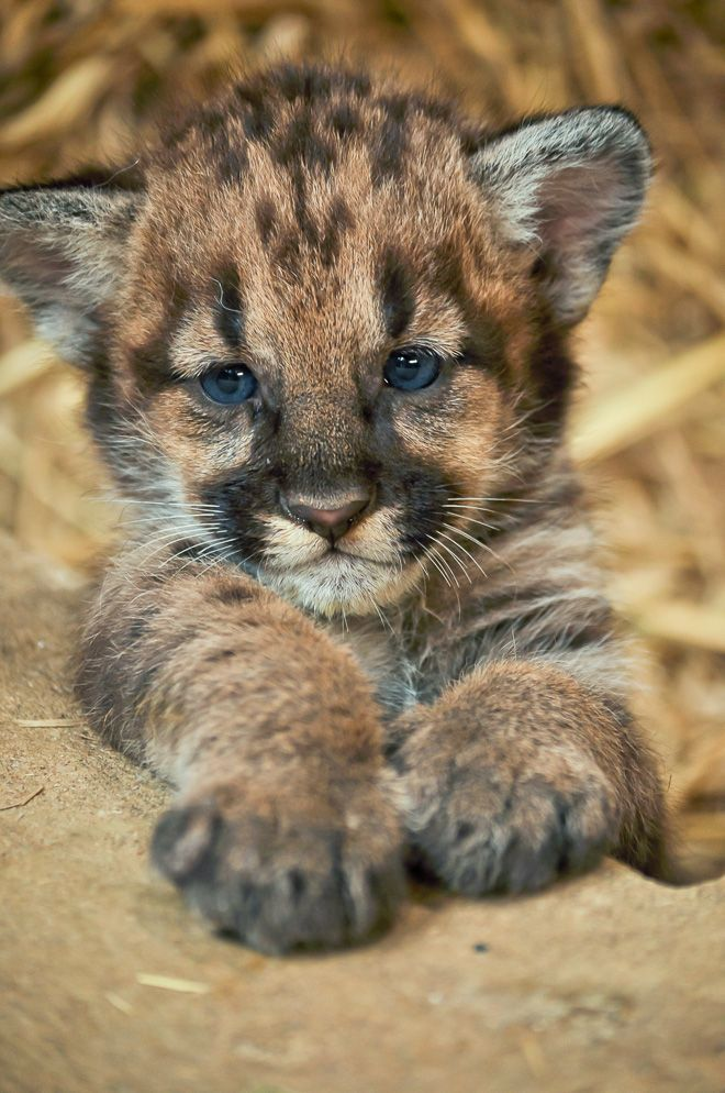 Baby Leopard Pictures, Photos, and Images for Facebook ...