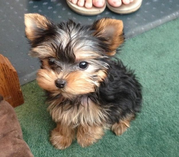 Teacup Yorkie Pictures Photos And