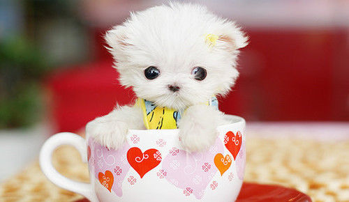 White Teacup Yorkie Pictures Photos