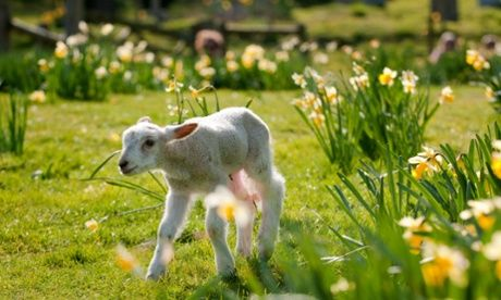 Spring baby lamb & daffodils | Spring time  |Baby Lambs In Spring