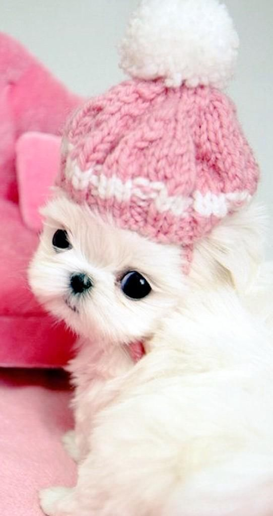 Darling Maltese Puppy In Pink Hat Pictures Photos And