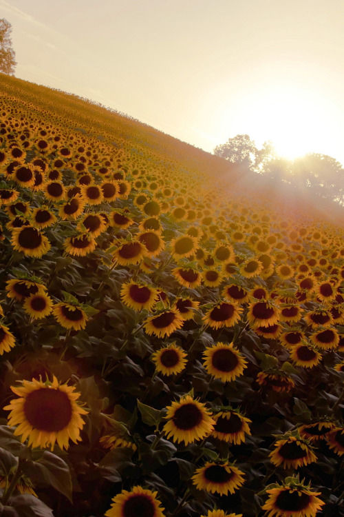 Sunflower Sunrise Pictures Photos And Images For