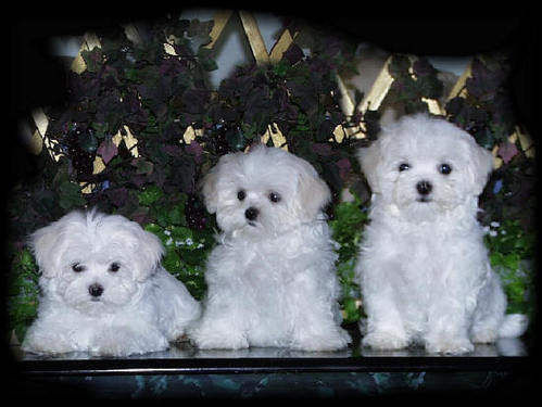 Three Cute Little White Puppies Pictures Photos And Images For