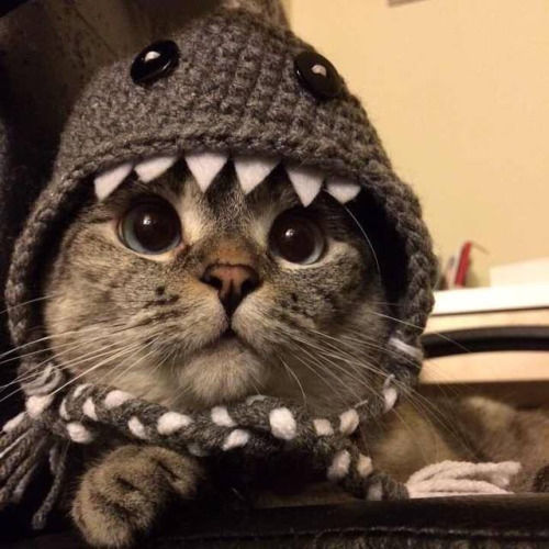 Cat In Shark Costume Pictures Photos And Images For