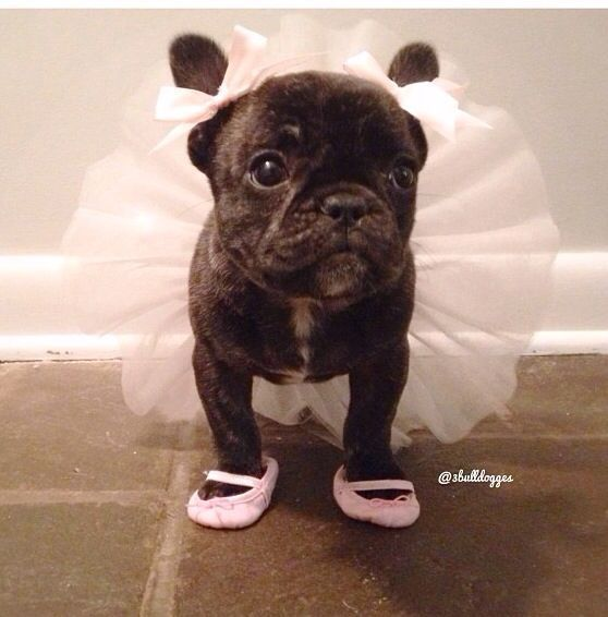 French Bulldog In Ballerina Costume Pictures Photos And