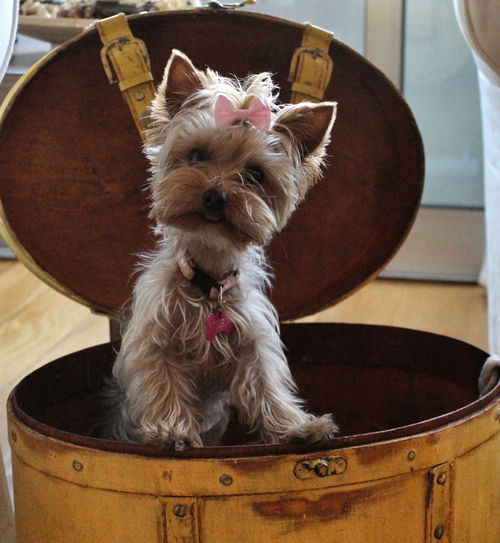 Teacup Yorkie With Pink Bow Pictures Photos And Images