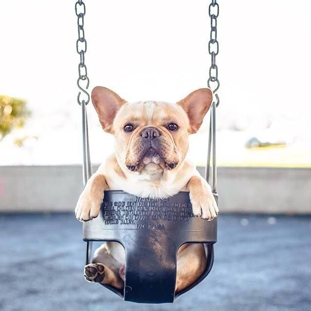 French Bulldog In A Swing Pictures Photos And Images For