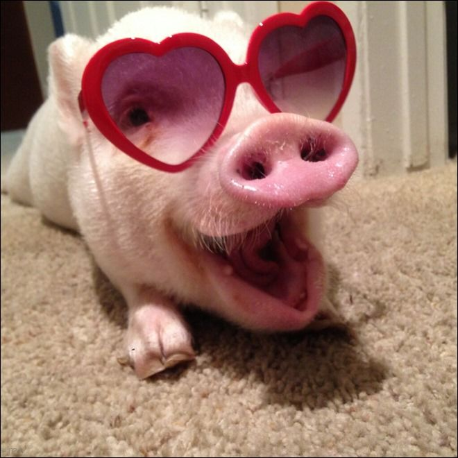 Pig Heart Glasses Photos