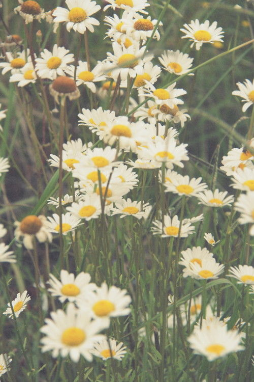 Daisies Pictures Photos And Images For Facebook Tumblr Pinterest And Twitter