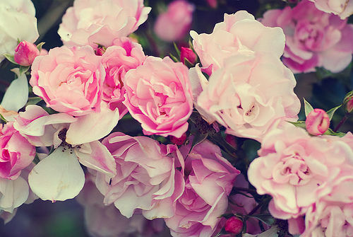 Pinterest Flowers: Pink Rose Flowers Pictures, Photos, And Images For