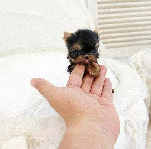 Cute Little Yorkie Pictures Photos And Images For Facebook Tumblr