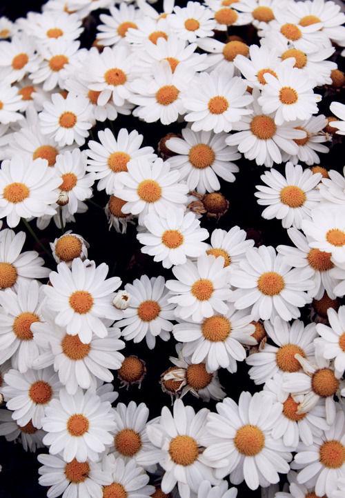 Daisies Field - FREEBigPictures.com