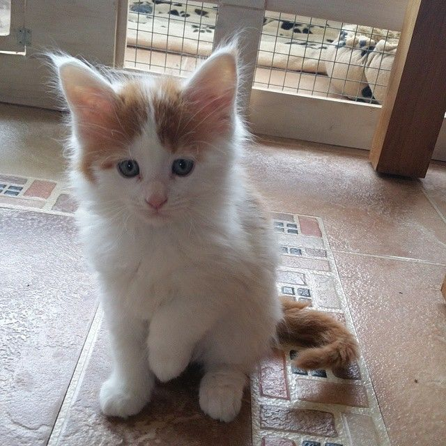 White And Tan Kitten Pictures Photos And Images For