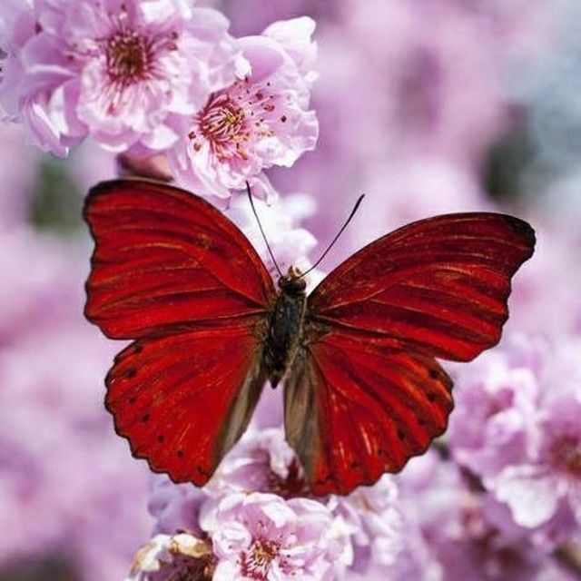 Red Butterfly Pictures, Photos, and Images for Facebook ...