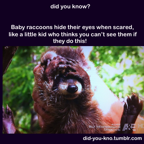 Why Baby Raccoons Hide Their Eyes Pictures, Photos, and