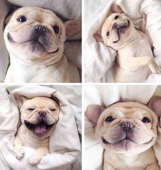 happy frenchie pictures photos and images for facebook tumblr pinterest and twitter. Black Bedroom Furniture Sets. Home Design Ideas