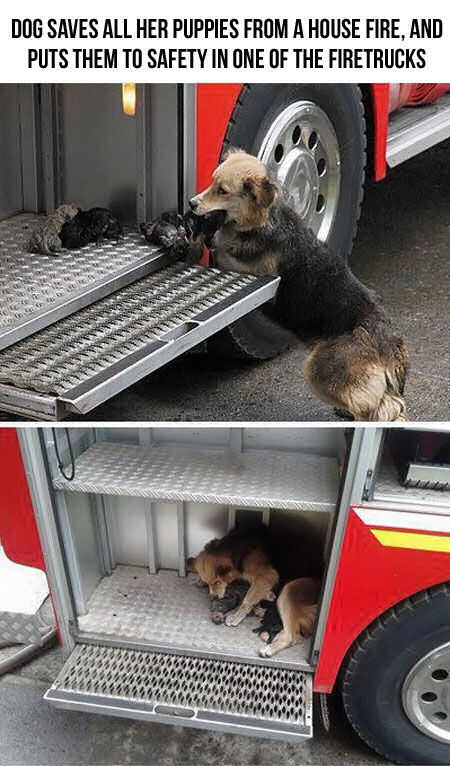 Dog Saves All Her Puppies From A House Fire And Puts Them