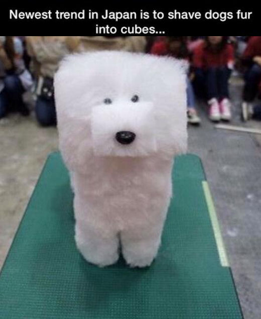 newest trend in japan shave dogs into cubes pictures