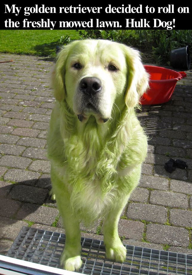 My Golden Retriever Decided To Roll On The Freshly Mowed Lawn Hulk