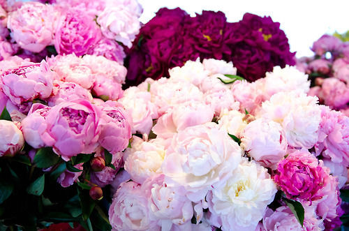 Peonie Assortments Pictures Photos And Images For