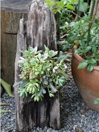 Driftwood Succulents Pictures Photos And Images For