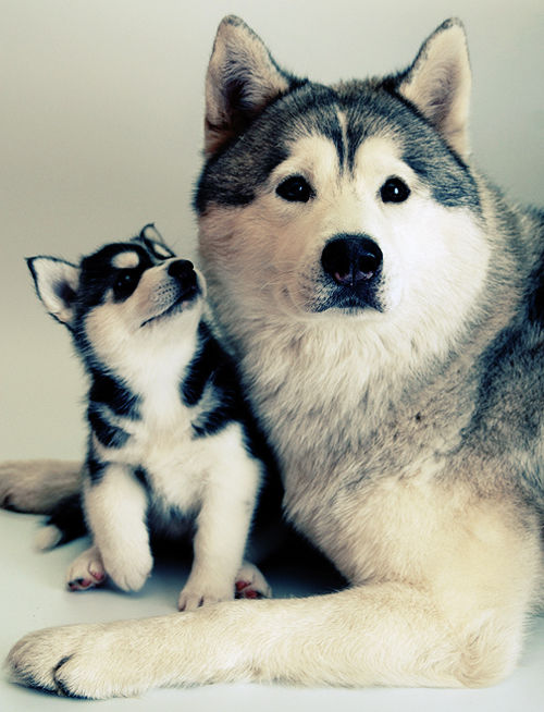 Husky And Husky Puppy Pictures, Photos, and Images for ...